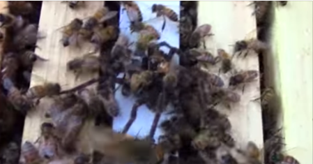 Video: tarántula es devorada por abejas