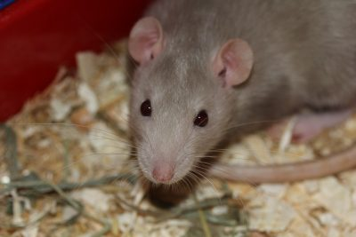 Cierran plazas de París por plaga de ratas