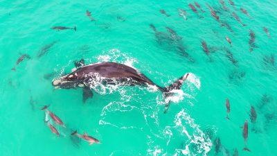 Una Ballena jorobada es captada mientras juguetea con delfines (VÍDEO)