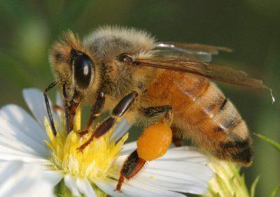 Estudio revela que las abejas comprenden el concepto del cero