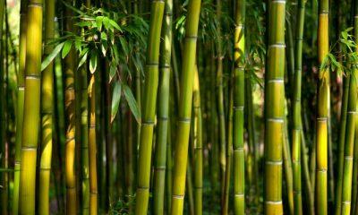 El bambú puede ser un detonante de la economía en México