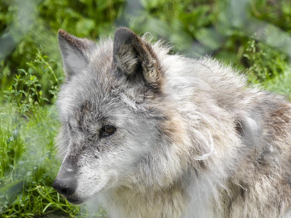 Austria Crea Curso Para Mejorar Como Líderes Usando Lobos Salvajes
