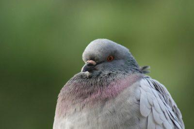 Hombres pretendían vender carne de paloma en Brasil