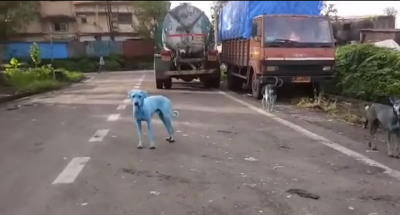 Perros callejeros beben agua en río contaminado y su piel se vuelve azul