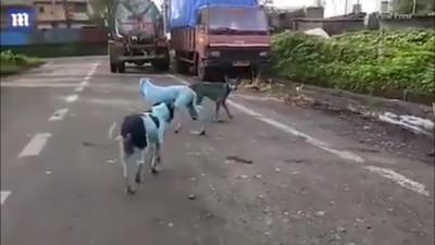 Perros de color azul en India sorprenden a la población (VIDEO)