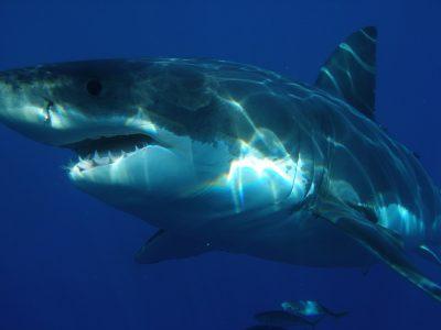 Reserva de la Biosfera mexicana favorece estudio de Tiburón Balnco