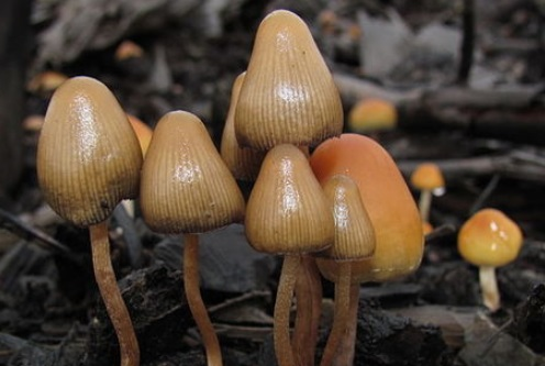 magic mushroom as a hallucinogen The magic mushroom may have another magical property the hallucinogen psilocybin, which is found in magic mushrooms, has been linked to a lift in anxiety and depression in cancer patients read more: future uncertain for many hiv/aids networks after liberals defund dozens.