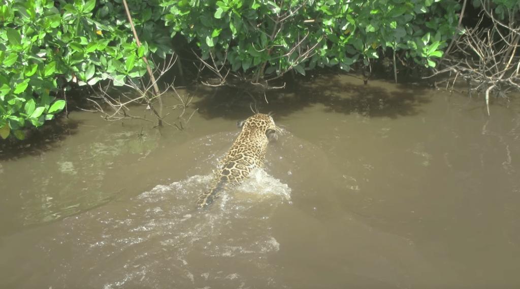 Captan por primera vez a jaguar nadando en reserva ecológica de Nayarit