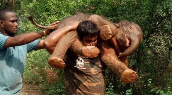 Hombre demuestra fuerza sobrehumana al cargar a bebé elefante