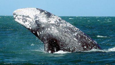 Ballenas francas del Atlántico Norte tuvieron un año letal, y ahora podrían extinguirse