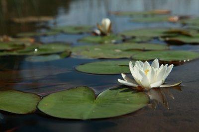 UAM trabaja con lirios acuáticos para sanear sitios contaminados
