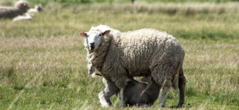 Asociación protectora de animales hace un sorteo y el premio mayor es un cordero