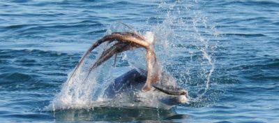 Pulpo asfixia a delfín goloso y se vuelve viral en Internet