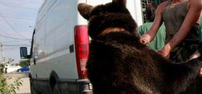 Oso agrede a niño de 3 años en Durango