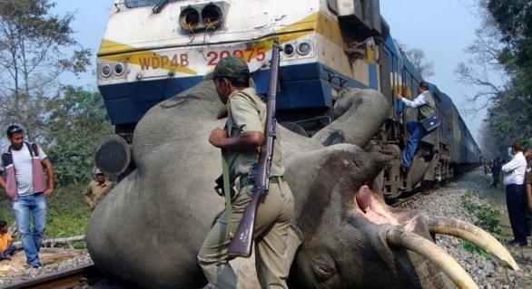 Tren embiste a cinco elefantes en la India ¡y se deslinda de responsabilidades!