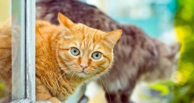 Estudio revela que la genética hizo a los gatos más dóciles