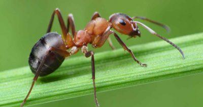 México forma parte de proyecto sobre la hormiga mutante