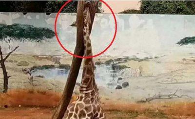 Filtran aterrador momento en el que jirafa se atora en un árbol y muere (VIDEO)