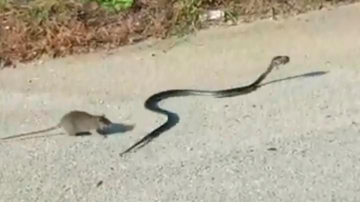 Rata defiende a su cría del sangriento ataque de una serpiente (VIDEO)