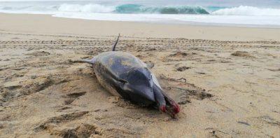 Alarma ecológica: pañal habría causado muerte a delfín de forma accidental