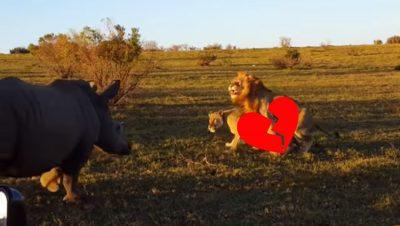 <i>Mal tercio</i>: rinoceronte perturba 'romántico momento' de leones (VIDEO)