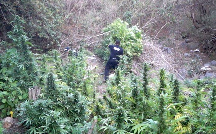 Destruyen plantío de mariguana en Jalisco