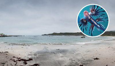 Descubren <i>horripilantes</i> criaturas azules con tentáculos en la playa(FOTO)