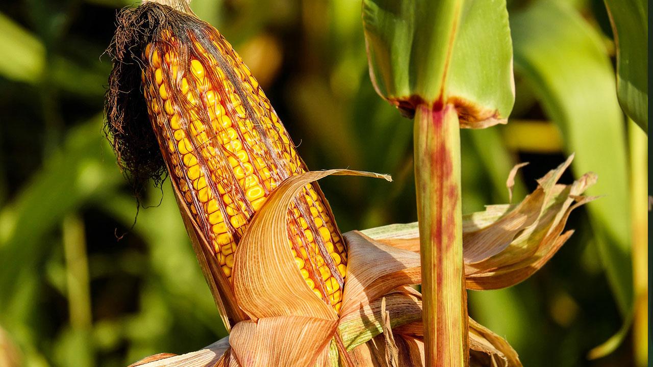 Conoce la tradición de Ixcaquixtla, el municipio poblano que venera al maíz