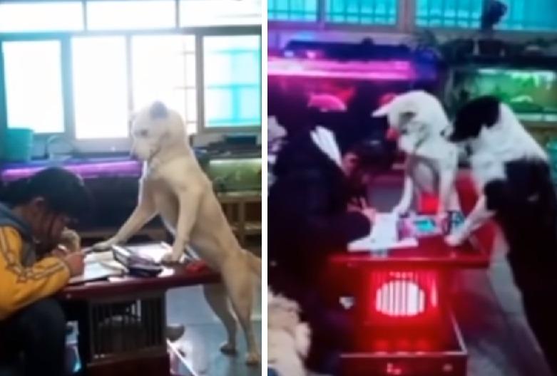 Entrena a perro para vigilar que su hija no juegue en el celular (VIDEO)