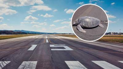Tortuga sale a poner sus huevos y halla playa convertida en aeropuerto