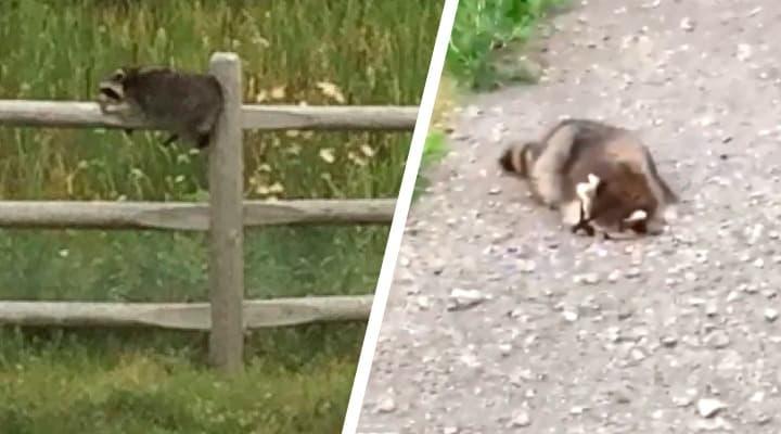 Video de mapache borracho en Canadá enloquece a internet. Noticias en tiempo real